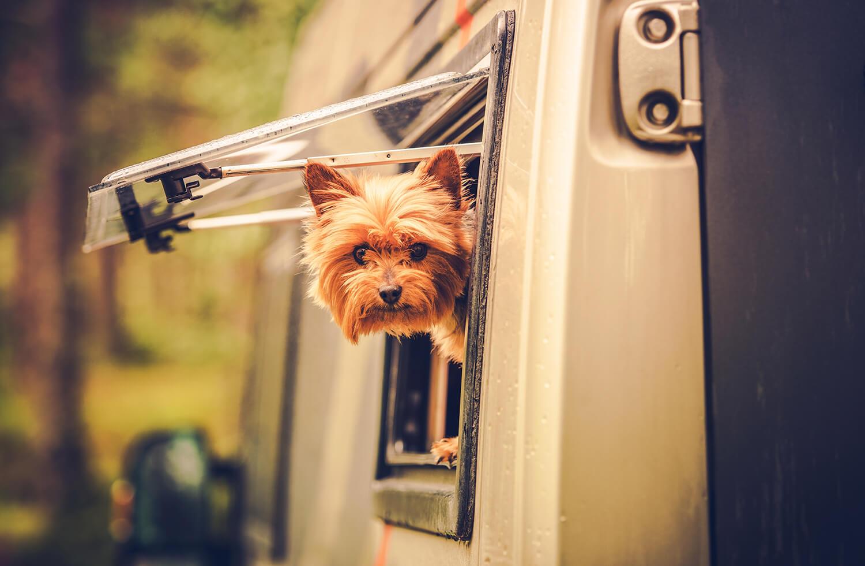 campsite dog